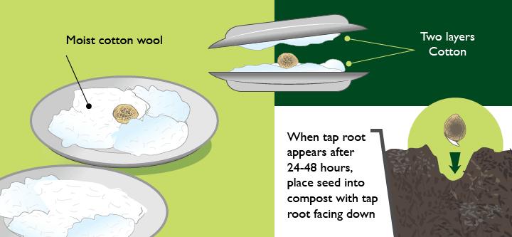 Wiet Zaden Ontkiemen Methode 2 - Tussen Watten