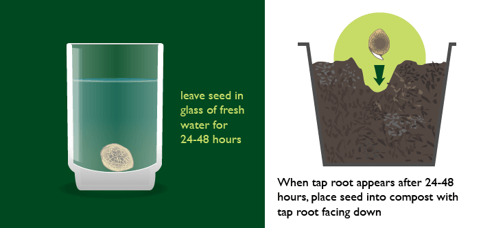Germinating Marijuana Seeds Method 3