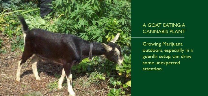 goat eating cannabis plant