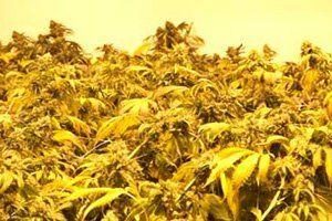 Groei condities Medicinale Cannabis