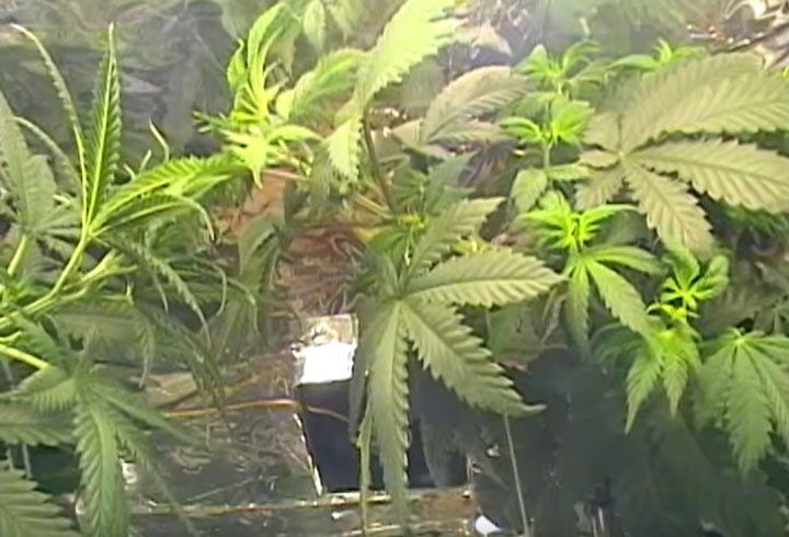 Iron deficient Cannabis Plant