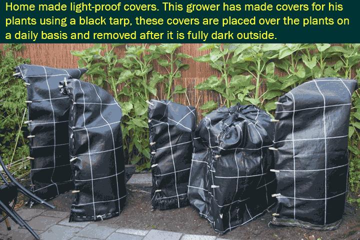 Przykład przyciemnienia roślin konopi