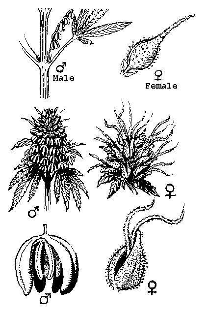 Male And Female Cannabis Flowers