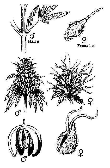 Mannelijke En Vrouwelijke Wiet Bloemen
