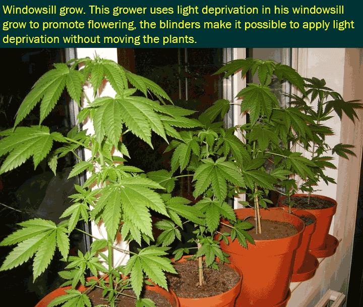 Przykład przyciemnienia roślin marihuany na parapecie