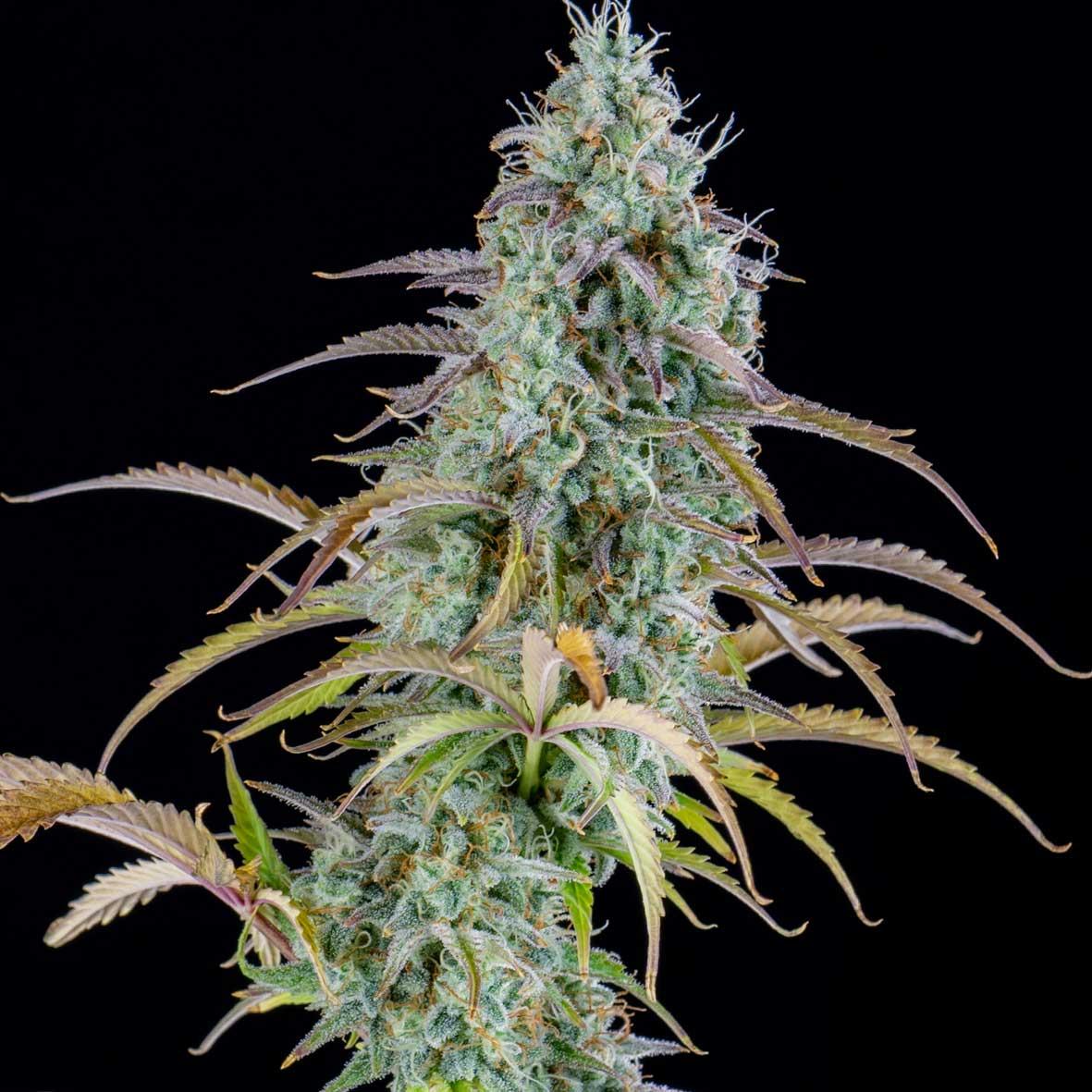 AK Automatic Cannabis Seeds
