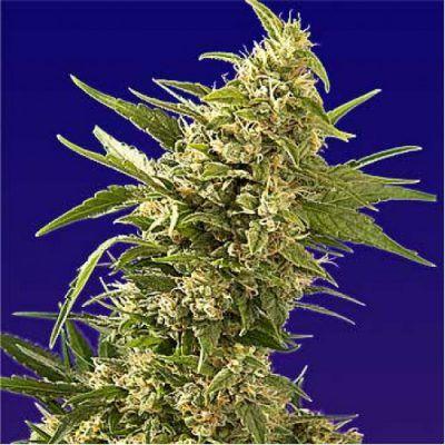 Semillas Feminizadas de Cannabis AK Automatic