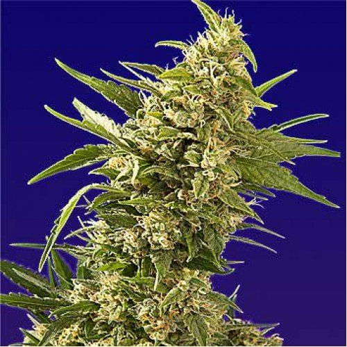 AK Automatic Cannabis Seeds