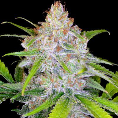 CBD Medi Kush Female Cannabis Seeds