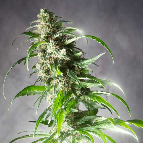 Foto - Semillas Regulares de Cannabis Jack F1