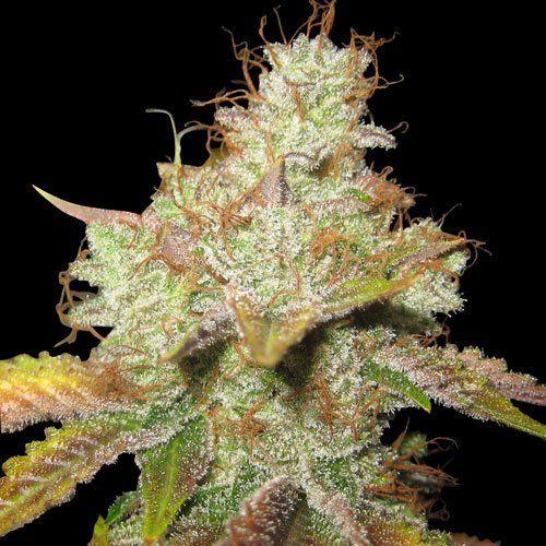 Master Kush Regular Cannabis Seeds