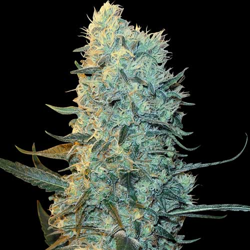 Power Plant Female Cannabis Seeds