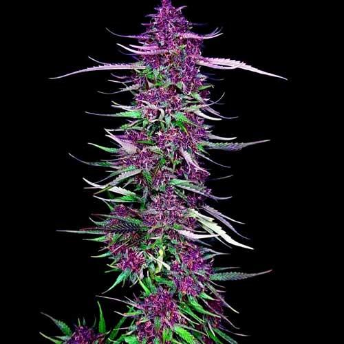 Impresionante foto de Purple Berry Kush