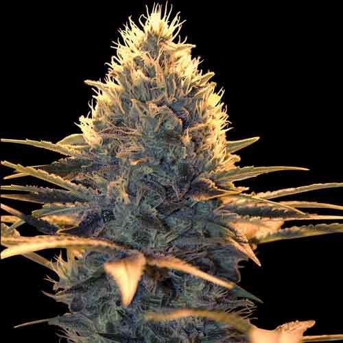 Spliff Cheese Female Cannabis Seeds