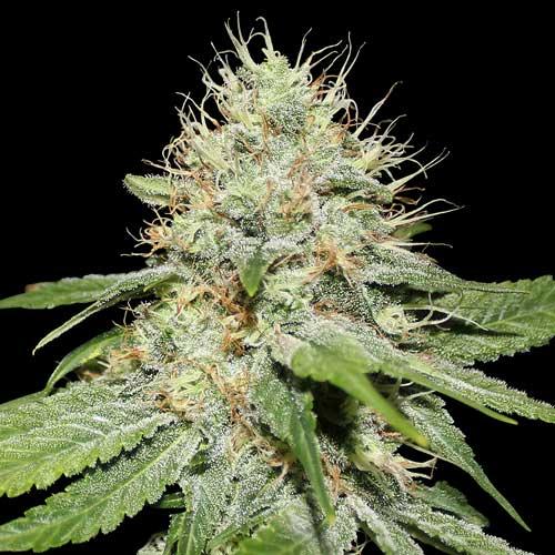 Sweet 'n Sour cannabis seeds photo