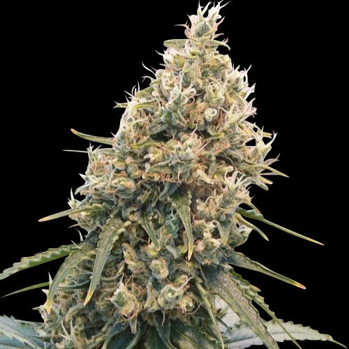 CBD Spliff Berry Female Cannabis Seeds