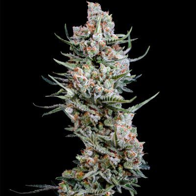 foto semillas de cannabis Crystal White