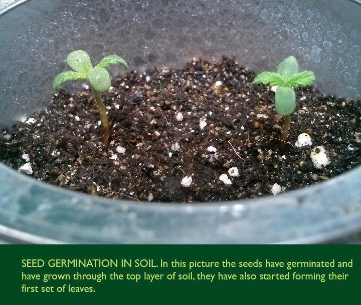 Germinating Cannabis Seeds In Soil