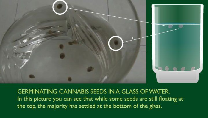 Germinating Cannabis Seeds In Water