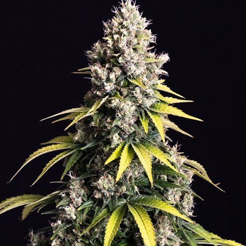 Lemom Cream Kush Female Cannabis Seeds