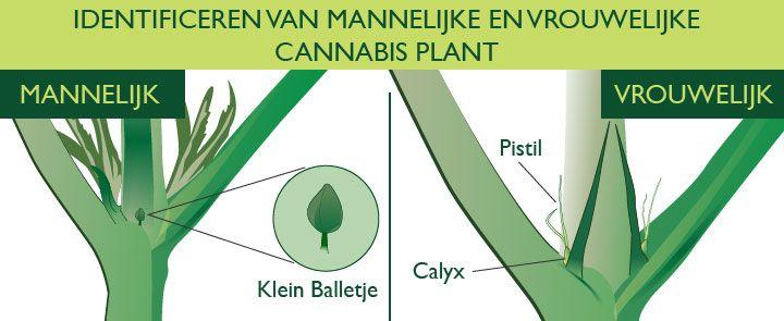 Wiet Plant Mannelijk En Vrouwelijk