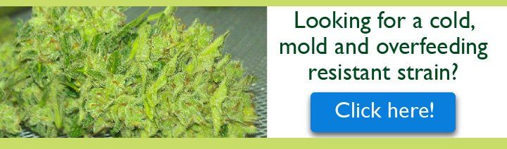 Bud Rot And Mold Resistant Strain