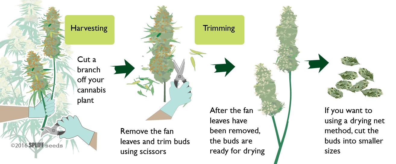 Drying cannabis step 1
