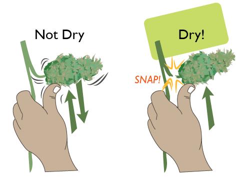 Drying cannabis test