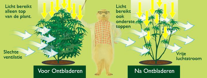 Wietplant Voor En Na Ontbladeren