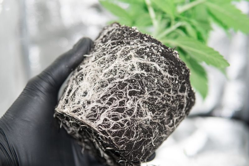 Root system out of marijuana seeds