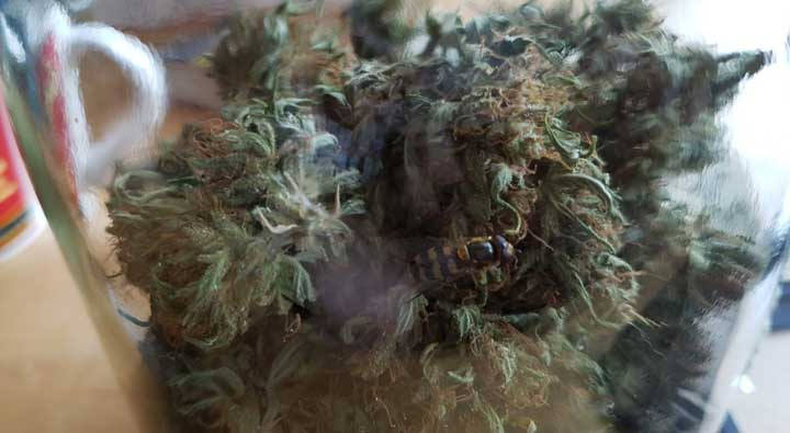 cannabis bud with bud rot