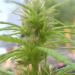 Wat te doen met een hermafrodiete cannabis plant?